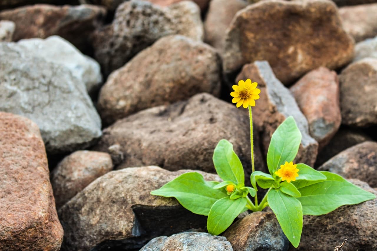 yellow flowers surrounded by rocks